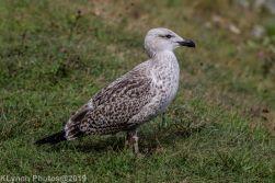 gulls_2