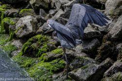 Heron_7
