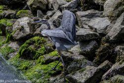 Heron_8