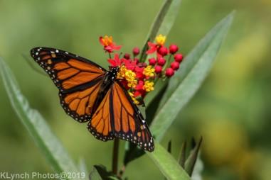 monarch_10