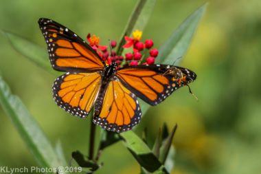 monarch_11
