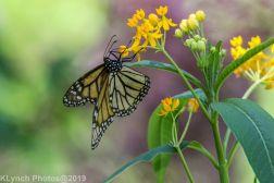 monarch_4