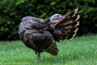 Turkeys_10