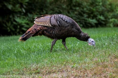 Turkeys_12