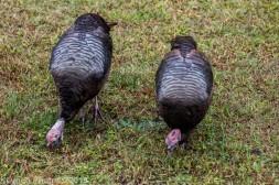 Turkeys_16