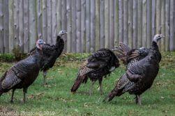 Turkeys_24