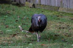Turkeys_28
