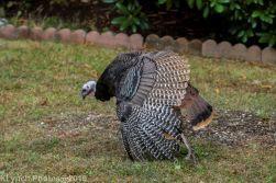 Turkeys_46