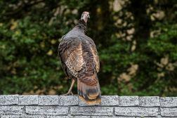 Turkeys_48
