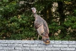 Turkeys_50