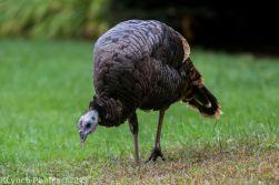 Turkeys_7