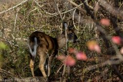 Deer_4