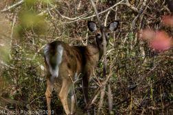 Deer_5