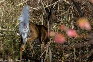 Deer_7
