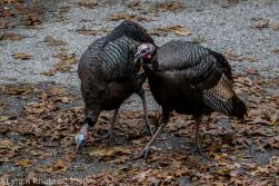 Turkeys_13