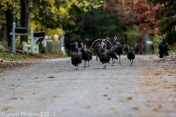 Turkeys_4