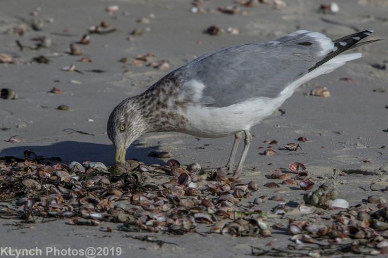 Gull_3