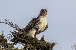 Hawk_23