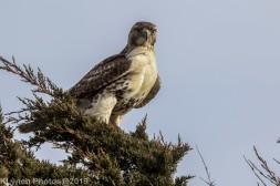 Hawk_25