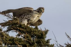 Hawk_27