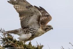Hawk_28
