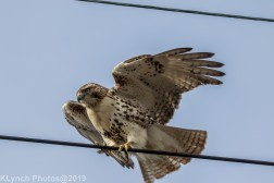 Hawk_29