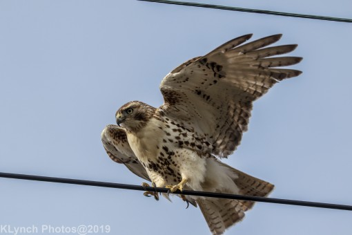 Hawk_30