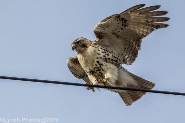 Hawk_31