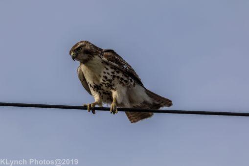 Hawk_33