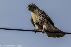 Hawk_36