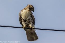 Hawk_39