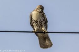 Hawk_40