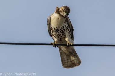 Hawk_43