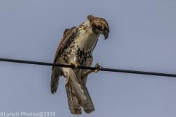 Hawk_49