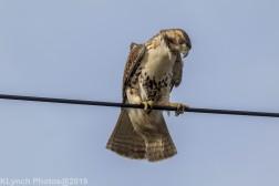 Hawk_50
