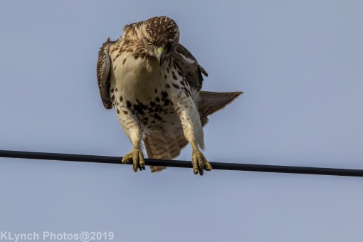 Hawk_52