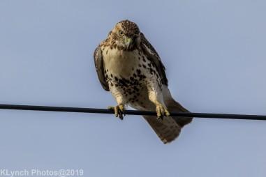 Hawk_54