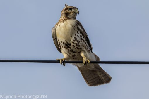 Hawk_55
