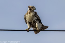 Hawk_56