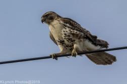 Hawk_60