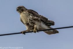 Hawk_61