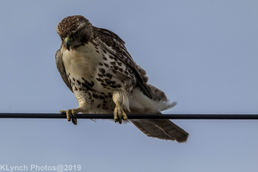 Hawk_63