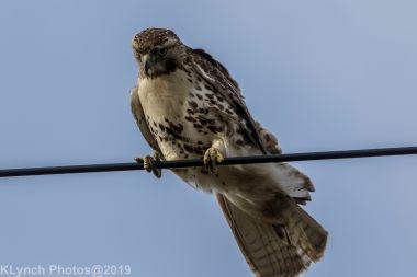 Hawk_64