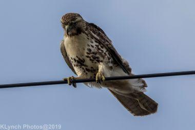 Hawk_65