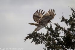 Hawk_7
