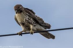 Hawk_70