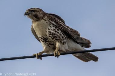 Hawk_75
