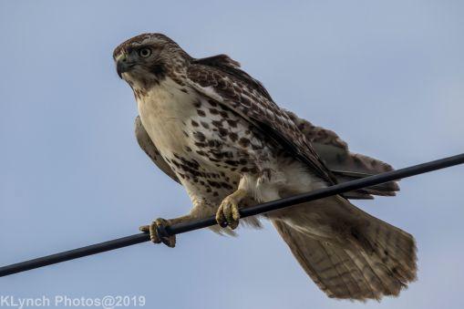 Hawk_77