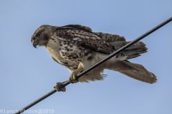 Hawk_79