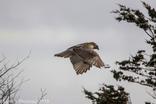Hawk_8